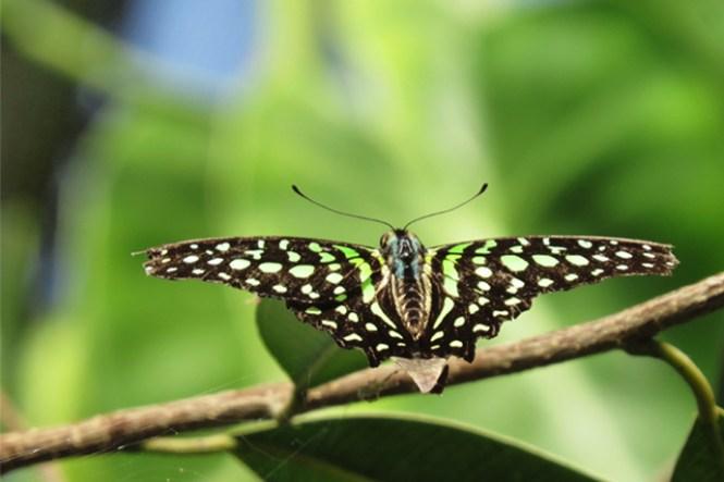 vlinder-1