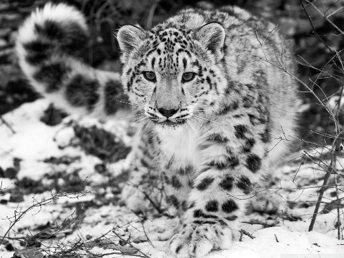Image result for snow leopards