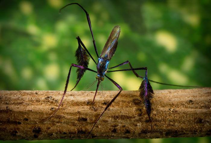 Sabethes – The world's most beautiful mosquito