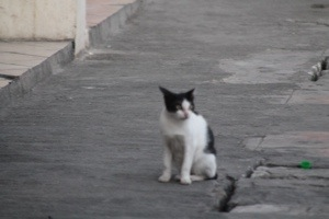 Indonesian cat Timor
