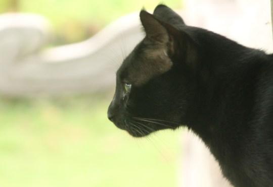 Indonesia black cat