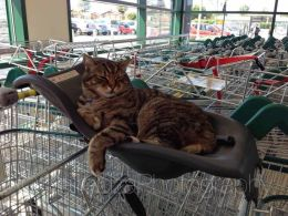 Brutus the supermarket cat