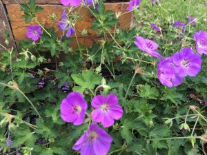 Photo of geraniums