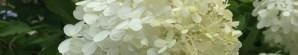 Photo of White Hydrangea