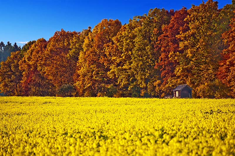 field of mustard with autumnal painted forest