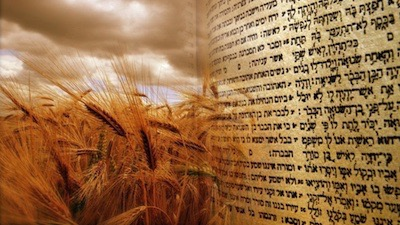 Torah in a wheat field