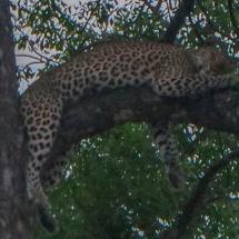 lepard close 1