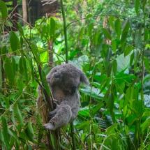 Blackbutt Reserve koala tired