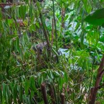 Blackbutt Reserve koala trees