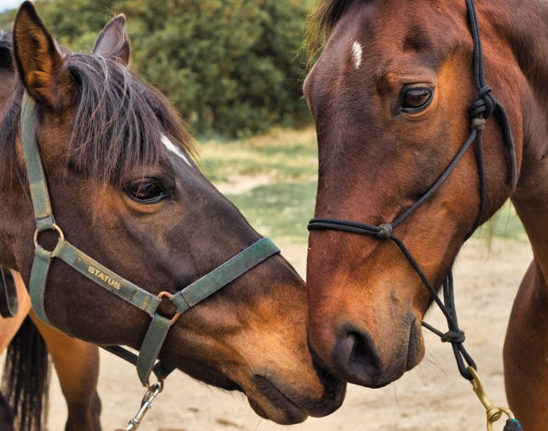 Horses depend on their sense of smell with their life