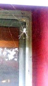 Spinne vor Fenster