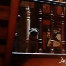 Mops im Treppenhaus