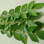 When can i give curry leaves for my baby