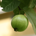 Guava is a fruit that's an integral part of our childhoods. Rich in Vitamin C & easily available, it's natural for Moms to wonder: can I give my baby guava?
