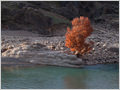 A lonely Oriental plane (Platanus Orientalis) tree growinig on the bank of Bazoft river, near the Gazestan village, Irana.