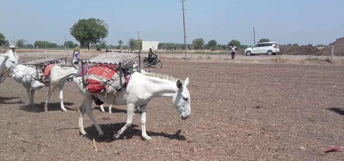 आता भारतात गाढविणीचं दूध उत्पादन; १ लिटरची किंंमत ऐकून थक्क व्हाल!