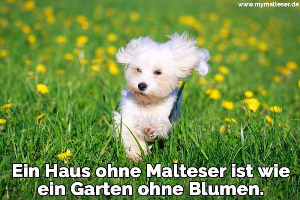 Ein Malteser läuft in einem Garten
