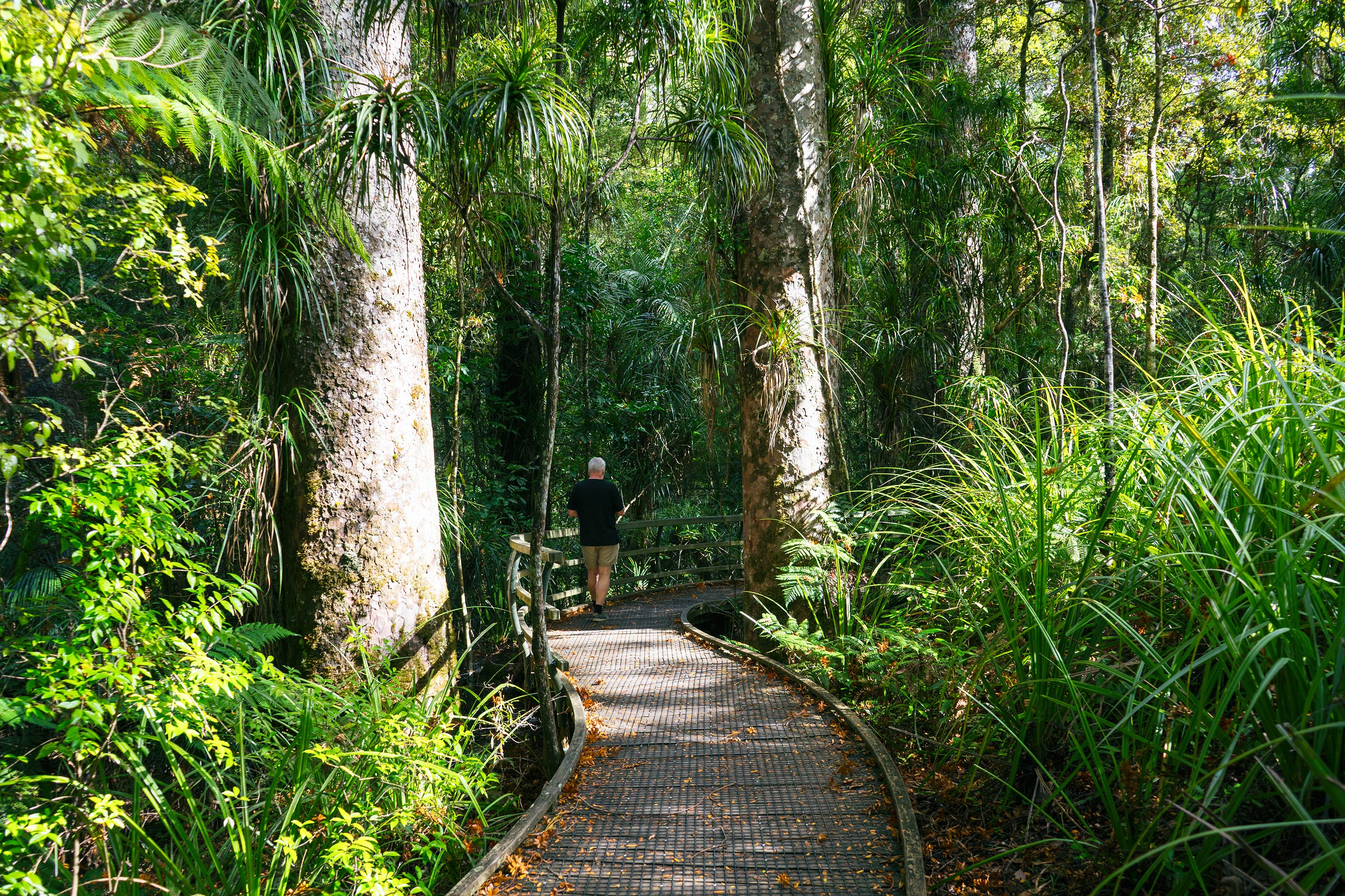 Puketi Kauri Forest Man Walking On The Boardwalk