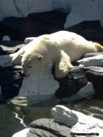 Ours blanc à Seaworld