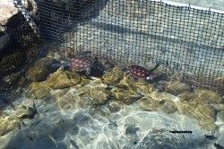 Tortues soignées dans le centre vétérinaire à Moorea