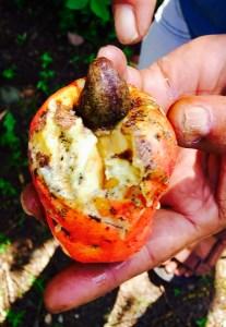 fruit noix de cajou