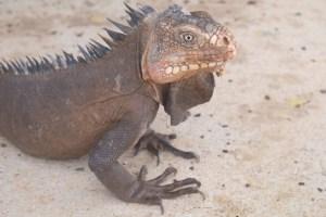 iguanes des petites Antilles