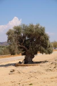 oliviers centenaire