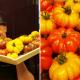 Atelier autour des tomates avec Interfel et Olivier Chaput