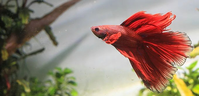 Why Do Betta Fish Fight and How to Stop Them | My Pet ...
