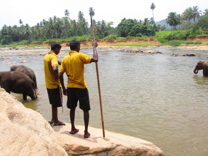 Mahouts watching the elephants during bath time