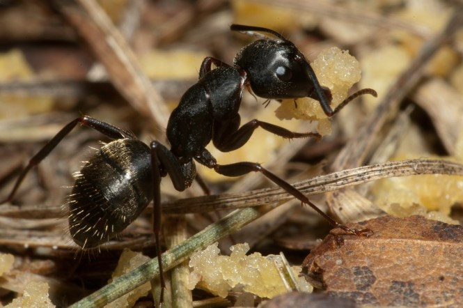 Florida Carpenter Ant Camponotus Floridanus Buckley Dealate Queen Tending Brood A