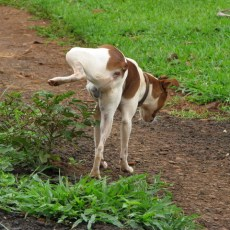 What color should my dog's urine be?