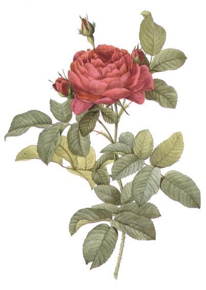 Redoute Rosa Gallica