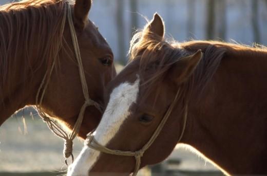 Hungarian horses
