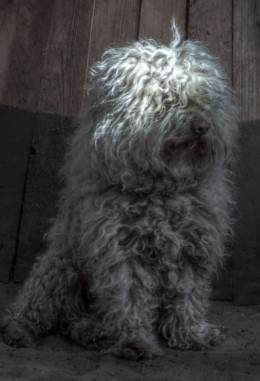 A young Puli, but where are his cords?
