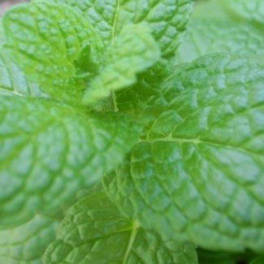 fresh spearmint leaves