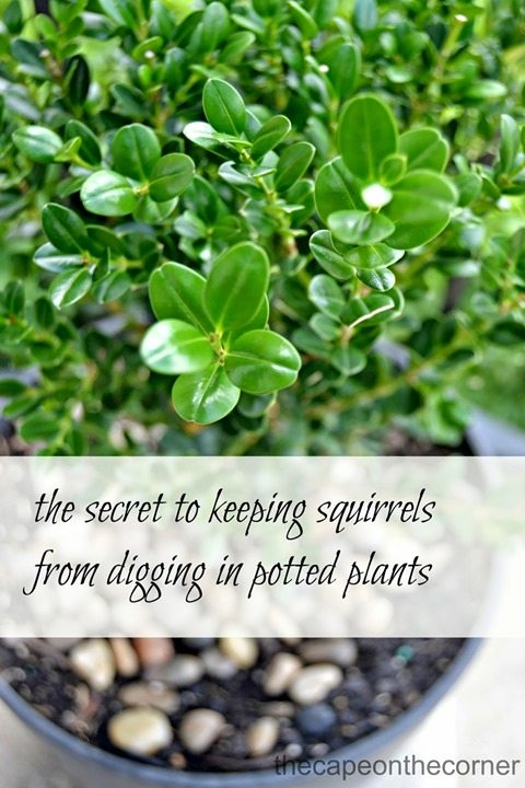 keep-squirrels-out-of-potted-plants