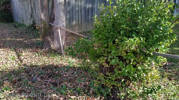 chain-link-fence-grown-into-tree