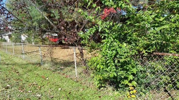 holly-bush-weeds