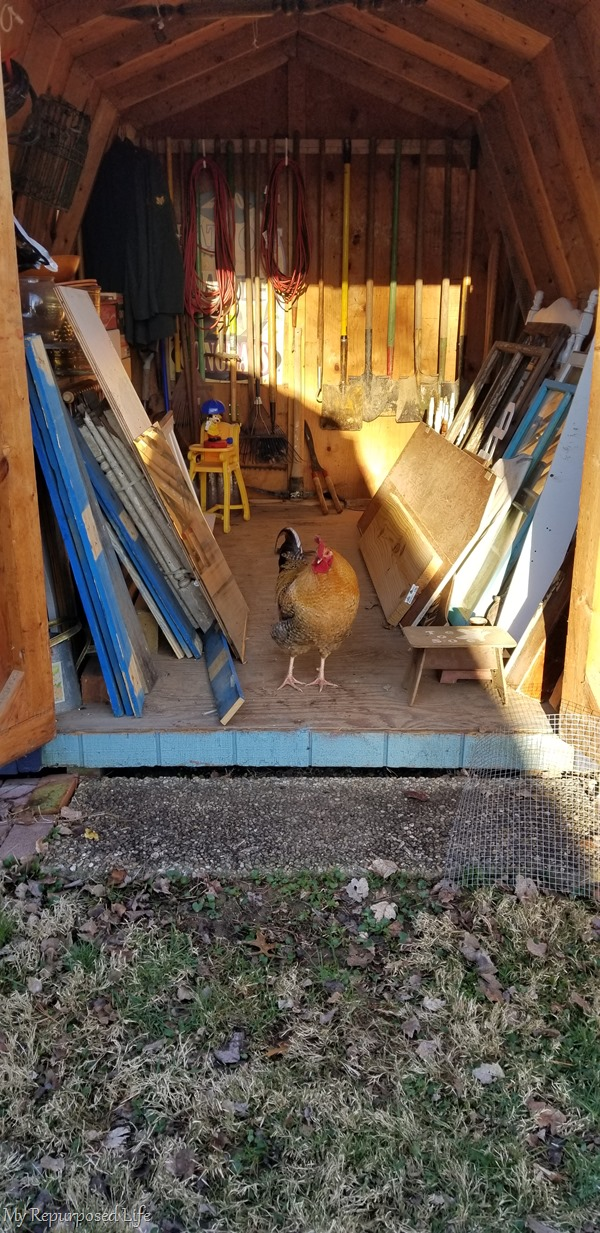 rooster in the garden shed