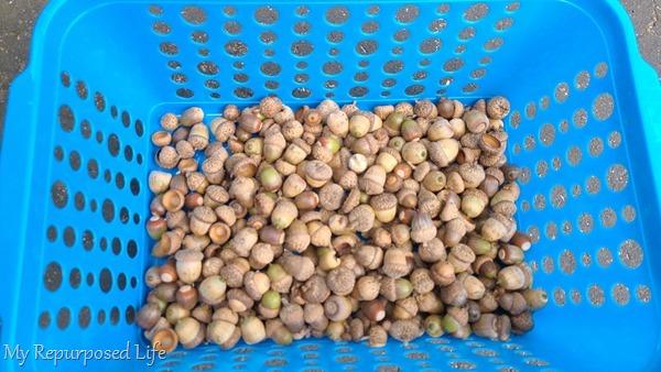 basket of fresh acorns