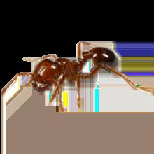 Translucent Ant