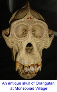Skull of Orangutan