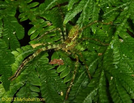 spider of Kiansom Park