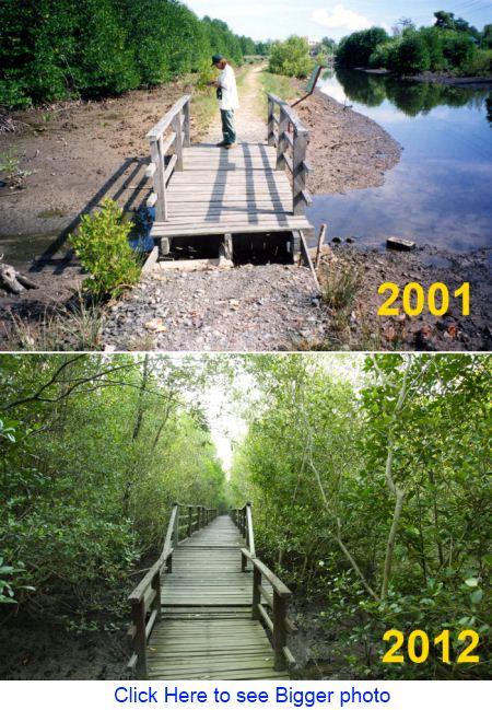 mangrove at river bank