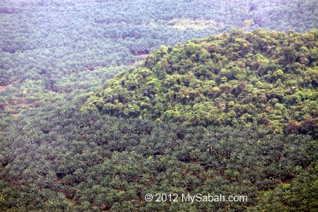 forest surrounded by oil palm plantation