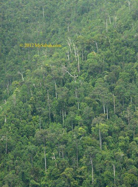 ultramafic forest of Telupid