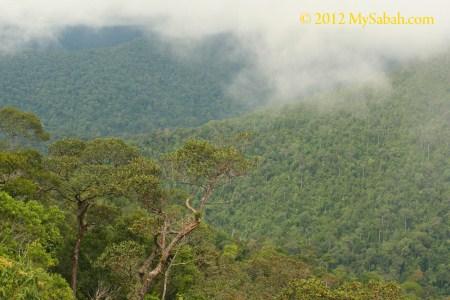 lush ultramafic forest of Tawai