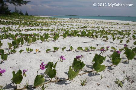 creeping plant on the beach