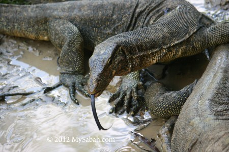 monitor lizards on Pulau Tiga Island